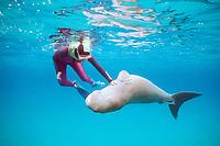 aggressive dugong or sea cow, Dugong dugon, pushed away by snorkeler, Tanna Is., Vanuatu (S. Pacific Ocean)