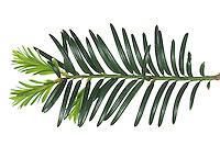 Europäische Eibe, Eibenbaum, Taxus baccata, European yew, Common yew, yew, L'If commun, If