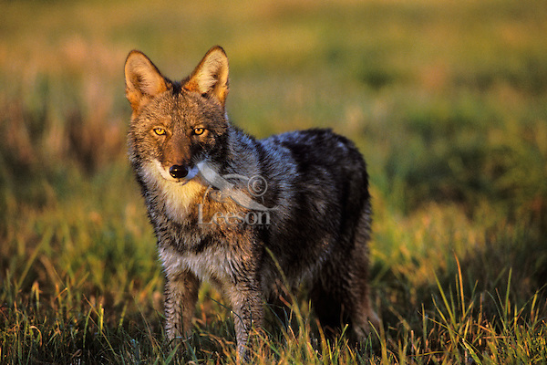 Coyote (Canis latrans) in meadow.