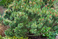Pinus mugo Ophir, mounding low growing evergreen pine tree shrub in green spring color
