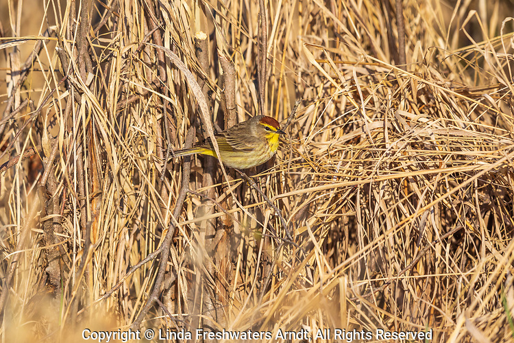 Palm warbler foraging in northern Wisconsin.