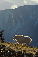 Mountain Goat (Oreamnos americanus) billy standing on subalpine hillside.  Pacific Northwest.  Fall.