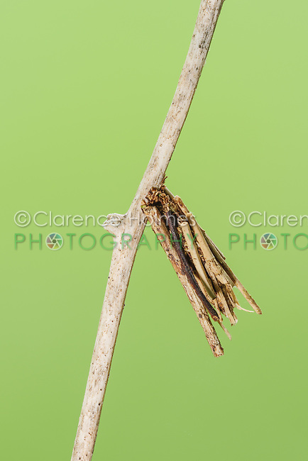 A Bagworm Moth (Psychidae) larval case hangs from vegetation.  Larvae (bagworms) construct the cases around themselves from twigs and plant debris.