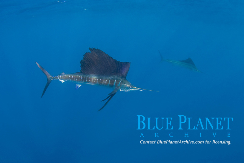 pelagic Atlantic sailfish, Istiophorus albicans, (considered by some to be a single species with Istiophorus platypterus), Yucatan Peninsula, Mexico (Caribbean Sea) near Contoy Island, Isla Mujeres, Cozumel, Cancun