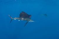 pelagic Atlantic sailfish, Istiophorus albicans, (considered by some to be a single species with Istiophorus platypterus), Yucatan Peninsula, Mexico (Caribbean Sea) near Contoy Island, Isla Mujeres, Cozumel, Cancun