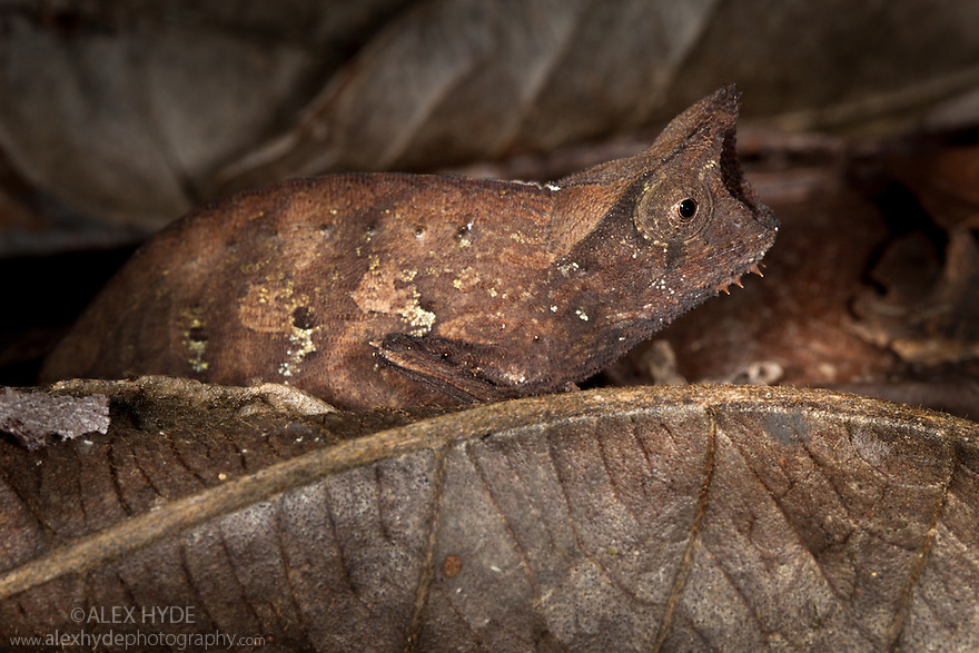 Stump-tailed chameleon (Brookesia superciliaris) camouflaged amongst leaf litter on rainforest floor. Masoala Peninsula National Park, north east Madagascar.