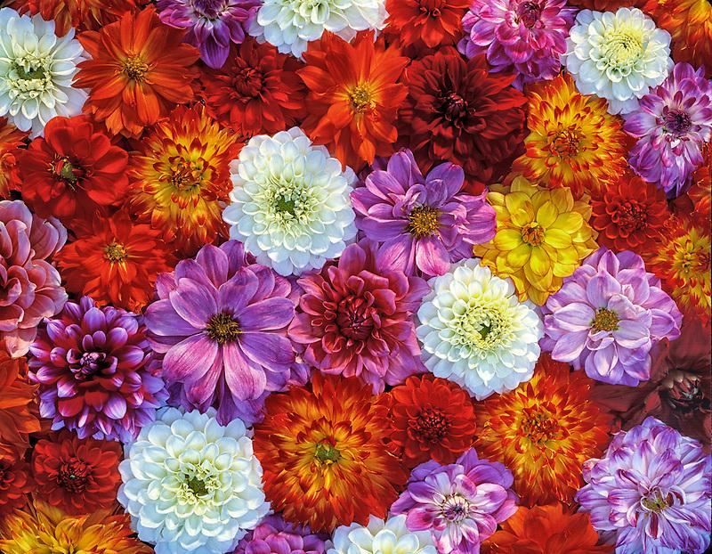 Mixed color Dahlias. Near Alpine, Oregon