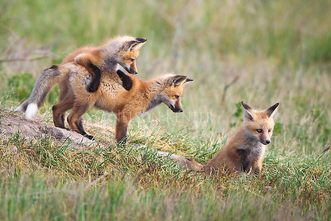 Red Fox kits stay close to the den. Something caught the attention of one while the others are focused on him.