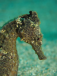 Kenting, Taiwan -- Close-up of a Zebra-Snout Seahorse, Hippocampus barbouri.