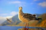 Seagull off the coast of Catalina, California