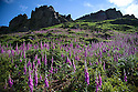 03/07/15<br /> <br /> Rain and hot sunshine have helped tens of thousands of Foxgloves burst into bloom turning the moorland purple beneath Hen Cloud in an area of the Staffordshire Peak District known as The Roaches. Many of the flowers, also known as digitalis, are more than four ft tall. <br /> <br /> All Rights Reserved: F Stop Press Ltd. +44(0)1335 418629   www.fstoppress.com.