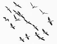 We saw large flocks of Great White Pelicans at Lake Manyara.