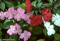 BZ01-005j  Genetics - impatiens: white (recessive), red (dominant), Pink(incomplete dom.) (incomplete dominance series BZ01-003b,002c,004c,005j)