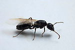 Winged carpenter ant, Componatus pennsylvanicus; formicidae