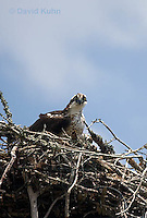 1205-1002  Osprey Sitting On and Caring for its Nest (Sea Hawk), Pandion haliaetus  © David Kuhn/Dwight Kuhn Photography