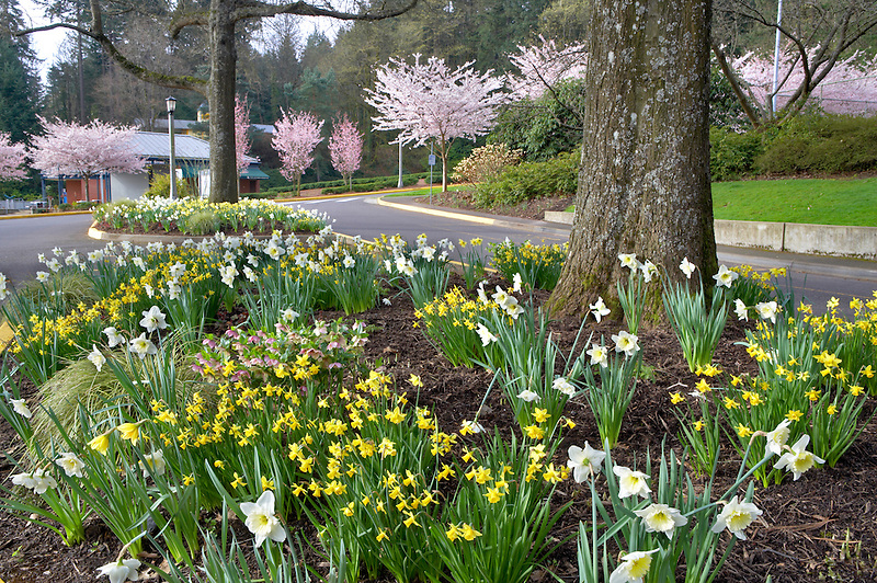 Dafodils and cherry trees blooming at Portland Rose Gardens. Portland. Oregon