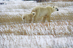 Polar bear and cub stand among grasses and snow in Churchill, Manitoba, Canada.