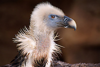 Gänsegeier im Parque Las Aguilas de Teide. Teneriffa, Kanarische Inseln, Spanien