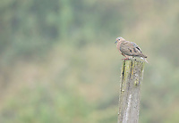 Eared dove, Zenaida auriculata, sits on a fence post in fog near Yanacocha Reserve, Ecuador