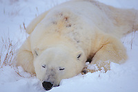 Polar bear (Ursus maritimus) Sleeping.  Snow on underbelly aid in thermal regulation after exertion.