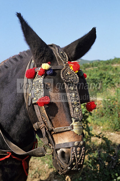 Europe/France/Languedoc-Roussillon/66/Pyrénées-Orientales/environs Banyuls-sur-Mer: vendanges traditionnelles avec mulet<br /> PHOTO D'ARCHIVES // ARCHIVAL IMAGES<br /> FRANCE 1990