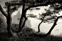 Shore Pine trees and coastline. Thunder cove Samuel H. Boardman State Park (Scenic Corridor),Oregon