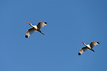 Damon, Texas; two adult white ibis birds flying overhead in formation against a blue sky in late afternoon sunlight
