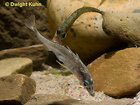 1S46-504z  Threespine Stickleback, male chasing gravid female from nesting site, Gasterosteus aculeatus