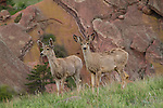 Mule deer can be common in any season along the foothills, especially near the NCAR facility.<br /> John offers wildlife photo tours, year-round.