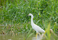 Snowy Egret, Egretta thula, at the edge of the Tarcoles River, Costa Rica