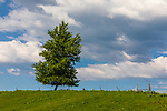 Lone tree in a farmer's field in northern Wisconsin.