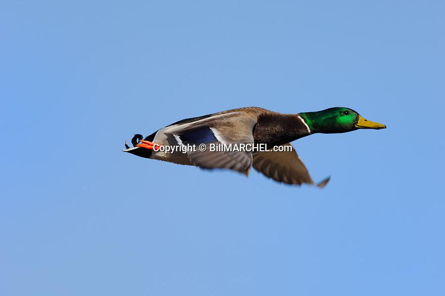 00330-075.05 Mallard Duck (DIGITAL) in flight against blue sky.  Fly, action, greenhead, hunt, waterfowl.  H5R1