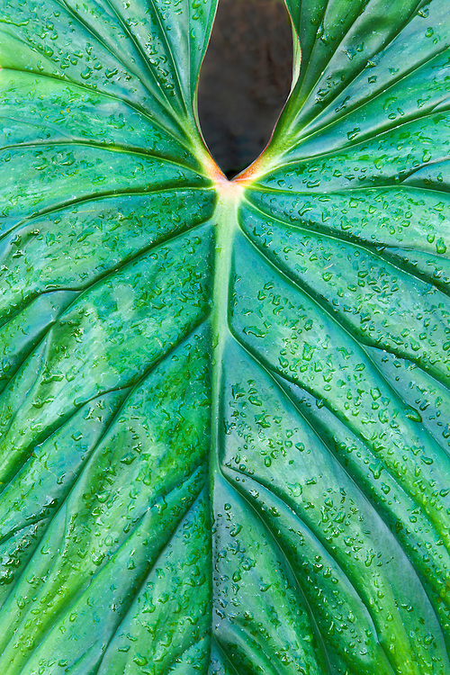Philodendron leaf pattern at Garfield Park Conservatory; Chicago, IL