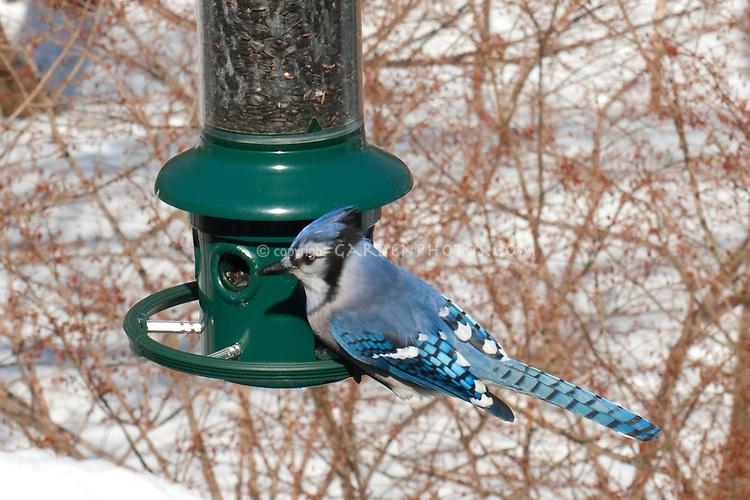 Blue Jay at Birdfeeder in Winter Snow Bluejay