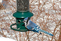Blue Jay at Birdfeeder in Winter Snow Bluejay