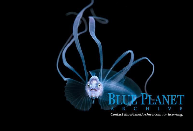 bony-eared assfish larva, Acanthonus armatus, a bathypelagic species of cusk-eel, making an appearance in 50 feet during a Black Water drift dive in waters 700+ feet deep, Palm Beach, Florida, USA, Atlantic Ocean