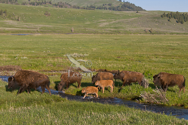 Part of a Bison herd crossing a small stream in Yellowstone's Lamar Valley, Yellowstone National Park, spring.