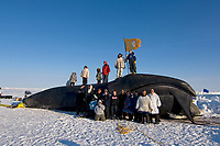 ABC whaling crew with family and friends pose for a photo with their 48 foot 8 inch bowhead whale, Balaena mysticetus, catch, Chukchi Sea, Arctic Alaska