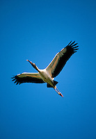 Wood stork in flight.