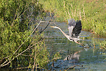 Damon, Texas; a great blue heron reflects in the surface of the slough as it spreads its wings while taking flight, in late afternoon sunlight