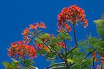 Seychelles, Island La Digue: Flamboyant tree - Royal poinciana (Delonix regia)