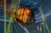 Swimming labrador retriever.