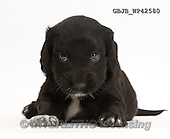 Kim, ANIMALS, REALISTISCHE TIERE, ANIMALES REALISTICOS, fondless, photos,+Black Cocker Spaniel puppy,++++,GBJBWP42580,#a#