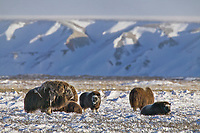 Muskoxen, coastal plains of Alaska's Arctic,