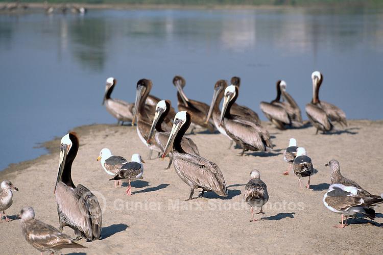 Brown Pelicans (Pelecanus occidentalis) and Gulls standing on Beach near Santa Barbara, CA, California, USA - North American Birds