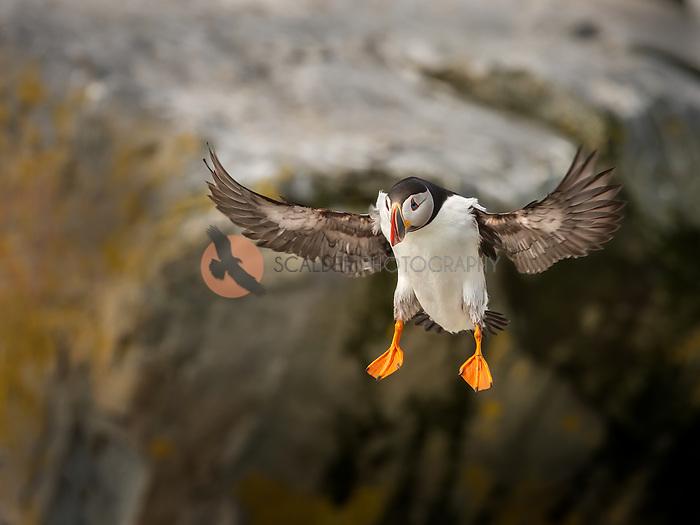 Atlantic Puffin in flight with wings aloft, landing on rocks