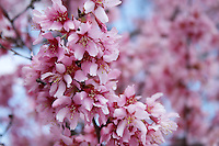Stock photo - elegant bunch of pink cherry blossoms hanging from above tree in spring.