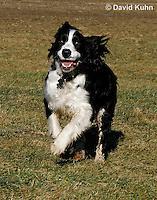 0730-0834  English Springer Spaniel Running, Canis lupus familiaris © David Kuhn/Dwight Kuhn Photography.