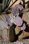 COCHINEAL INSECT, DACTYLOPIUS COCCUS ON OPUNTIA SANTA-RITA 'TUBAC', PURPLE PRICKLY PEAR CACTUS