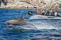 common bottlenose dolphin, Tursiops truncatus, jumping, by tourists onboard Zodiac, Isla San Pedro Martir, Baja California, Mexico, Gulf of California, aka Sea of Cortez, Pacific Ocean